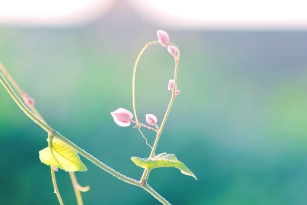 ピンクの花のつぼみ