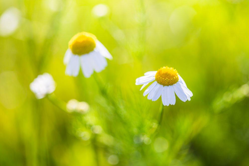 開きかけの花