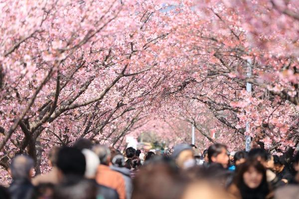 京都の「哲学の道」の桜